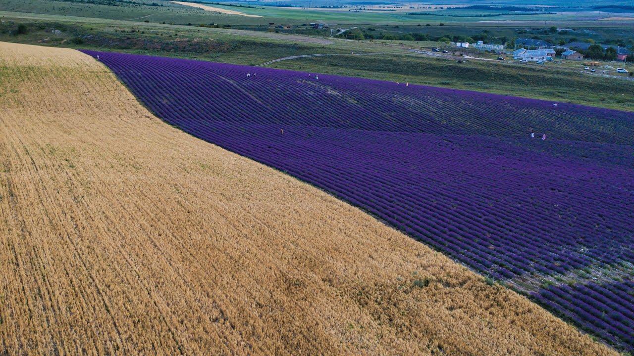 Одно из самых больших полей лаванды в Европе зацвело в Крыму