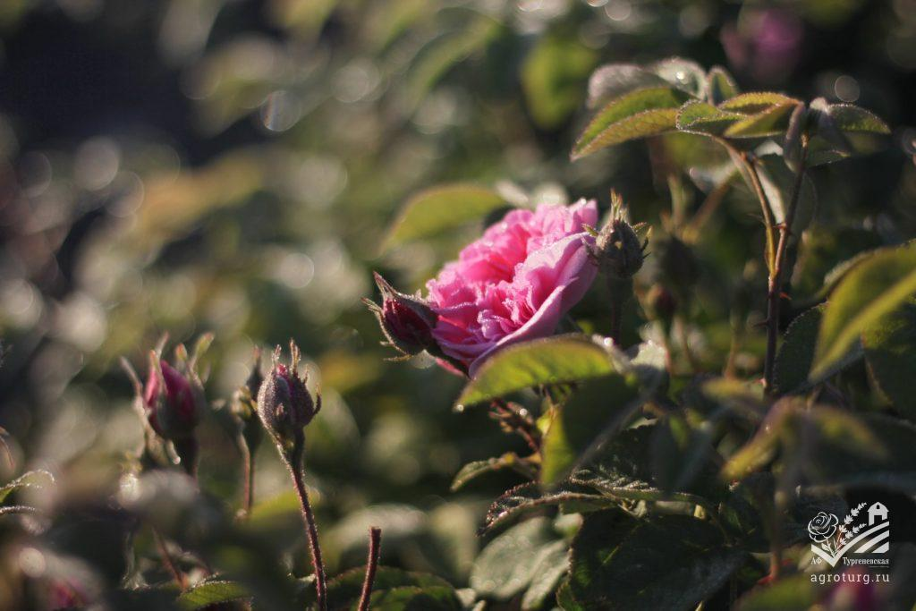 Уборка Розы, июнь 2020г.